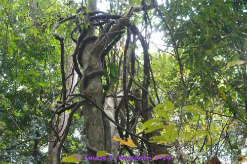 Vines strangling up a tree