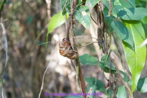 Cicada exoskeleton in the bush