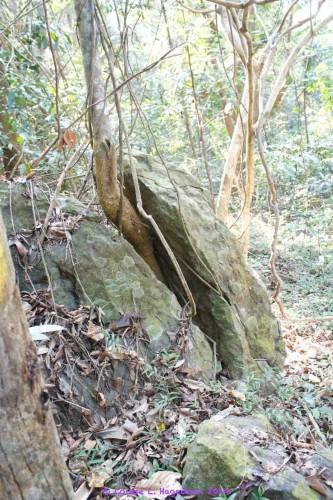 A tree splitting a rock in two