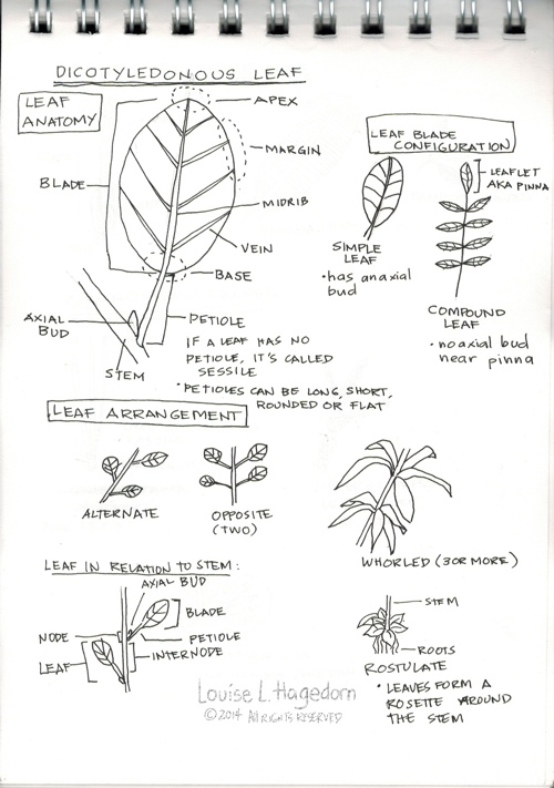 Dicotyledonous Leaf Notes
