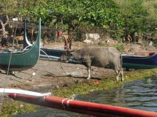 A carabao (Philippine water buffalo) at the lake shoreline.